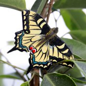 Papillon bois Machaon